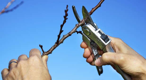 pruning-fruit-tree