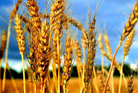 wheat and weed